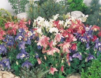 AQUILEGIA SPRING MAGIC MISCUGLIO NR.1000 SEMI