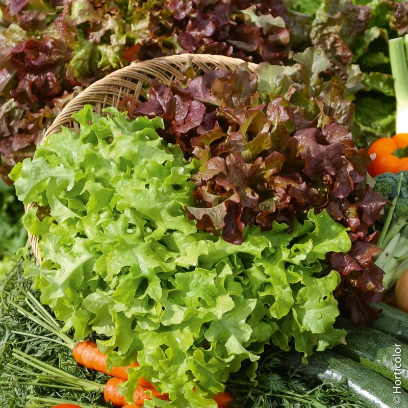LETTUCE FOR CUTTING, BABY LEAF ( LACTUCA SATIVA) RED SALD BOWL  KG 1