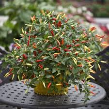 PEPERONCINO BASKET OF FIRE NR.100 SEMI