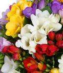 FREESIA SEMPLICE MIX - SCATOLA DA NR.500 BULBI ASSORTITI