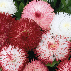 BELLIS HABANERA MIX NR.1000 SEMI