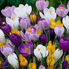 CROCUS VERNUS MIX SACCO DA NR.10 BULBI