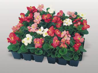 BEGONIA SUPER OLIMPIA MIX NR.1000 SEMI