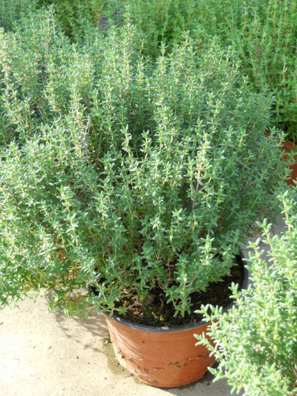THYMO OFFICINALIS GR.25 TIMO
