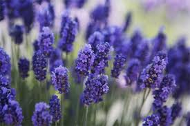 LAVANDA OFFICINALIS NR.200 SEMI