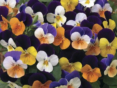 VIOLA CORNUTA PENNY JUMP UP MIX NR.1000 SEMI