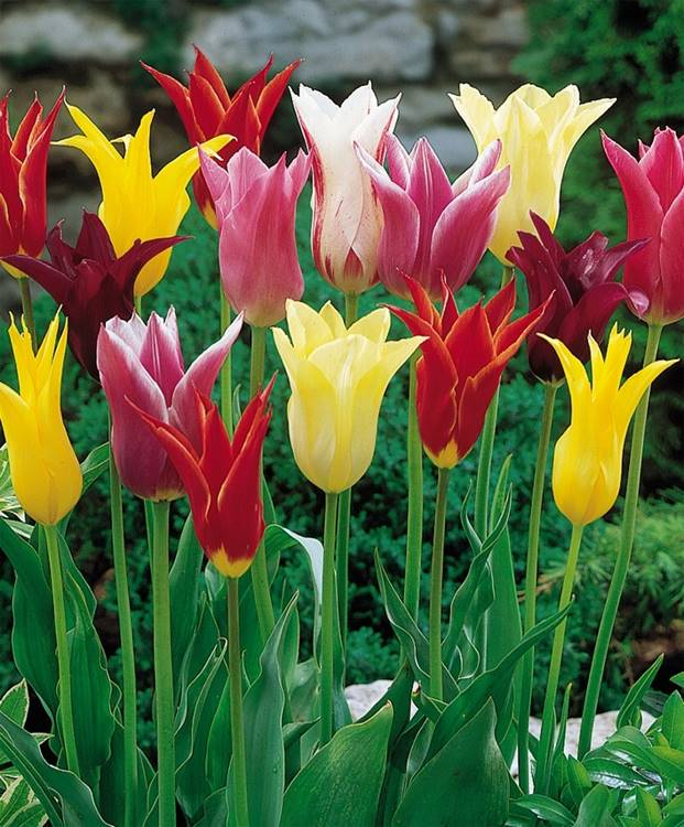 TULIPANO LILY FLOWERED MIX SACCO DA NR.10 BULBI