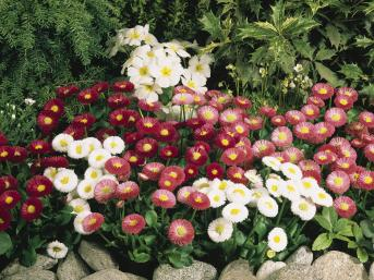 BELLIS SPEEDSTAR MIX NR.1000 SEMI