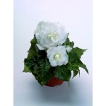 BEGONIA NEWSTAR WHITE NR.1000 SEMI