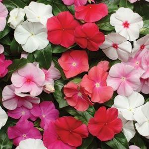 VINCA PACIFICA BOLD MIX NR.1000 SEMI