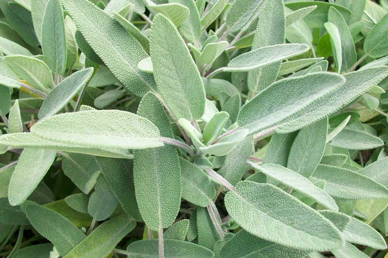 SALVIA OFFICINALIS NR.500 SEMI