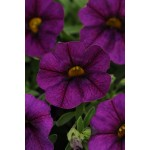 CALIBRACHOA BLU SCURO NR.1000 SEMI