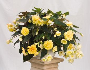 BEGONIA ILLUMINATION CREMA NR.1000 SEMI