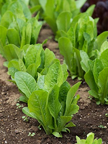 LETTUCE FOR CUTTING, BABY LEAF ( LACTUCA SATIVA),SIMPSON ( BLACK SEED ) ROMANA KG 1