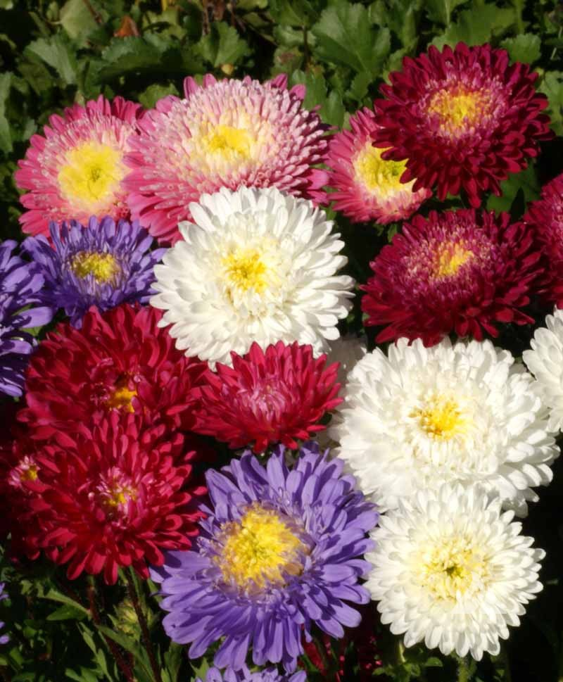 ASTER POWDERPUFF BOUQUET MISCUGLIO NR.300 SEMI