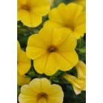 CALIBRACHOA GIALLO NR.1000 SEMI